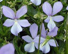 Viola cornuta 'Boughton Blue' - Horn-Veilchen
