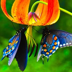 Butterflies on tiger lily