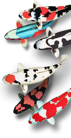 so many different varieties of koi