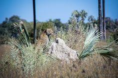 Moremi Wildreservat - auf Leoparden-Safari im Okavango Delta Safari, Okavango Delta, Game Reserve, Giraffe, Africa, Nature, Pictures, Animals, Viajes