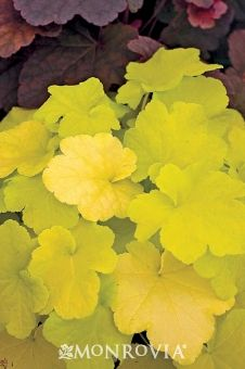 Citronelle Coral Bells - Heuchera villosa 'Citronelle' - 10 in. tall and 14 in. wide.