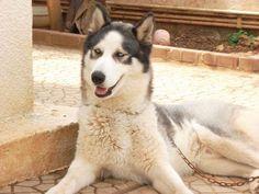 Iceeeee, siberian husky, 3 years old