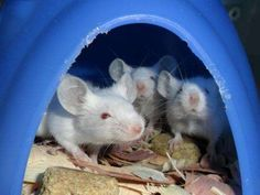 In mice genetically predisposed to glaucoma, vitamin added to drinking water is effective at preventing the disease, a research team led by Jackson Laboratory Professor and Howard Hughes Medical Investigator Simon W. John reports in the journal Science. Rats, Lung Infection, Brain Memory, Physical Stress, Seizures, Blood Cells, Alzheimers, Neuroscience, A Team