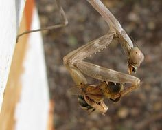 Amazing picture of a mantis eating a honey bee.