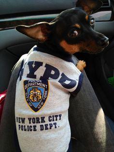 NYPD Min Pin. ~~~~~~~~~ ~~~~~~~ Go Blue Bloods - - - - - - - > Go Min Pins Min Pin Puppies, Min Pin Dogs, Cute Puppies, Cute Dogs, Mini Pinscher, Miniature Pinscher, Doberman Pinscher, Dog Love, Puppy Love