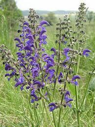 Šalvěj luční Salvia pratensis Hluchavkovité