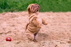 roly poly shar pei baby boy