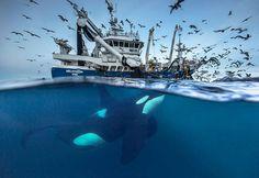 Magic Arctic Whales Photographs by Audun Rikarsen – Fubiz Media