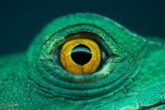 Close up of Costa Rica's Jesus Christ Lizard - An Eye by Irene Mei, via 500px