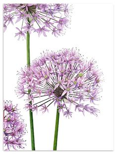 I've never been able to work with watercolour, always thought it a bit insipid, but you cannot call this insipid, you can call it lovely...Allium, botanical watercolour by Anna Knights
