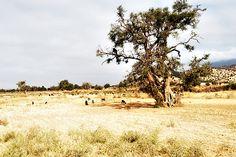 Argan -    goats climbing the argan trees...