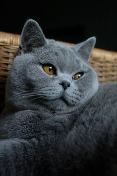 Russian Blue Cats and like OMG! get some yourself some pawtastic adorable cat apparel! Cute Cats And Kittens, I Love Cats, Kittens Cutest, Animal Gato, Mundo Animal, Blue Cats, Grey Cats, British Blue Cat, Chartreux Cat
