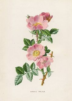wild rose botanical illustration - Google Search