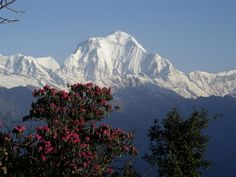 Dhaulagiri with an enormous rhododendron tree in full bloom in the foreground. Surely nowhere outside of the Himalayas can be found such incredible rhododendron forests.