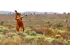 Andrey Giljov kuvasi kengurun kung-fu-harjoituksissa vuonna 2013 Australiassa.