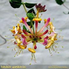 Good morning: Honeysuckle flowers  #flowers #honeysuckle #integratedpestmanagement #ipm