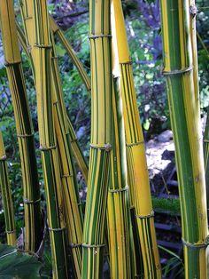 bamboo Read More at: botgardening.blogspot.com