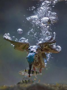 Kingfisher catching a fish (Photo by Jaap La Brijn)