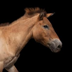 Hear the tale of this truly wild horse, from its disappearance in the wild to its (so far) successful reintroduction.