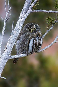 Northern Pygmy Owl - Rocky Mountains