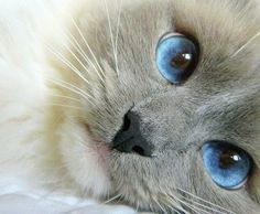 this has got to be a Birman with those deep blue eyes and sweet face <3