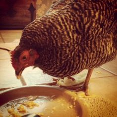 Yes. This is a chicken eating a scrambled egg.