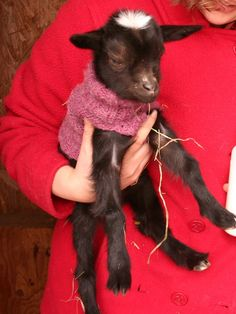 Knitted Baby Goat Sweater for Nigerian Dwarf Goat. $10.00, via Etsy.