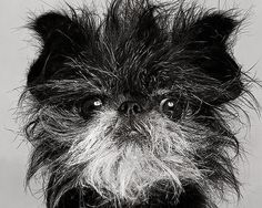 Cheyenne theAffenpinscher- our favorite Affen of all time.  The breed isGermanin origin and dates back to the seventeenth century. Its name is derived from theGermanAffe(ape, monkey). The breed predates and is ancestral to the Griffon Bruxellois(Brussels Griffon) andMiniature Schnauzer.    Thanks tohodgeypodgey, we have the entry back