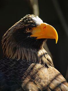 https://flic.kr/p/EbXsd9 | Sea Eagle: Stern look | Sea Eagle. National Aviary, Pittsburgh (Feb 21, 2016)