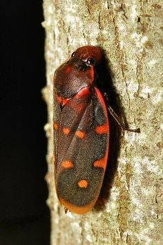 Froghopper (Phymatostetha sp., Cercopidae) <3