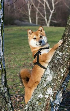 Sayo the Shiba!