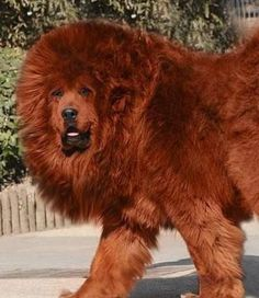 """Tibetan Mastiff. In Tibet, Tibetan Mastiffs are called """"Do-khyi"""" or """"tied dog"""" and are kept chained to the gates and let loose at night."""