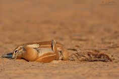 """Squirrel 69"" - Kgalagadi Transfrontier Park by Rudi van den Heever - LinRu Photography Website Twitter Google+"