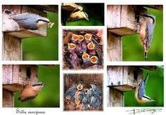 sittelle torchepot nid