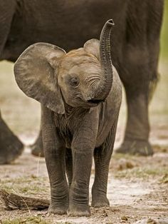 Draw Animals Photographic Print: Baby Elephant Poster by Martin Harvey : - Cute Baby Elephant, Cute Baby Animals, Animals And Pets, Funny Animals, Draw Animals, Baby Elephant Pictures, Wild Animals, Elephants Photos, Save The Elephants