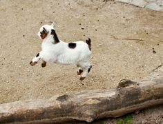 Little pigmy goat