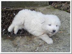 Ciobanesc mioritic (shepherd mioritic) originally from Bucovina, Romania Romania, Animals And Pets, Puppies, Heart, Happy, Dogs, Cute, Puppys, Pet Dogs