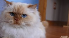 Flame Point Himalayan Cats Related Keywords & Suggestions - Flame ...
