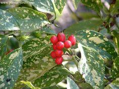 Aucuba con frutos en la planta