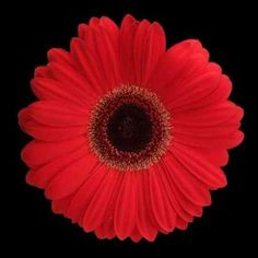 Cuadro Red Gerbera Daisy
