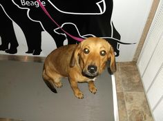 Bliss was pick up on Hill St on 10/18/13.  She appears to be a young Beagle mix.  She is a really sweet girl.  If not reclaimed by her owner she will be available for  adoption on 10/24/13 and for rescue on 10/25/13.  Expected Euthanize date is...