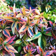 """""""This abelia kaleidoscope is a great low growing, evergreen shrub getting just…"""