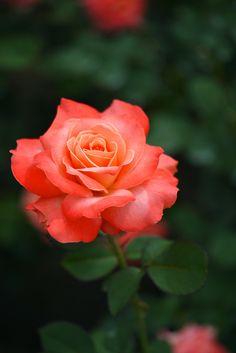 'Majorette' | Mini-flora, Patio Rose. Meilland 1986 | @ Yorkey&Rin
