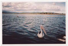Pelican #photography