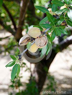 Farm Agriculture Food Production Orchard California