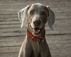Do Weimaraners smile? Absolutely! Especially when they bite little girls butts really bad.  aww, I still like them though...