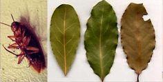 Pon una hoja de esta planta (LAUREL) en cada esquina de tu hogar y las cucarachas desaparecerán como por arte de magia -- Todos sabemos que a nadie le gustan las cucarachas, puesto que son insectos desagradables y todo el mundo tiene miedo de ellas. Anuncio Pero, ¿Sabías que son una de las especies más resistentes del planeta, porque aguantan altos niveles de radiación y pueden sobrevivir sin comida durante más de un mes? Las cucarachas son omnívoras, …