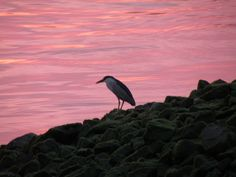 Pink Sunrise With Bird On The Rocks