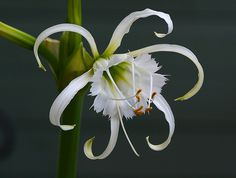 Spider Lily - Mine's in bloom right now and the scent is so good