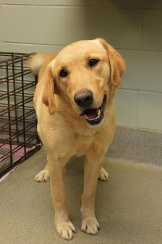 Sam - Labrador Retriever - 5 yrs old - Christian County Animal Shelter - Hopkinsville, KY. - https://www.facebook.com/pages/Christian-County-Animal-Shelter/214216555270170 - https://www.petfinder.com/petdetail/31446978/